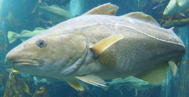 Gambar Nama Nama Ikan Laut Dan Gambarnya Kod atlantik (Gadus morhua)