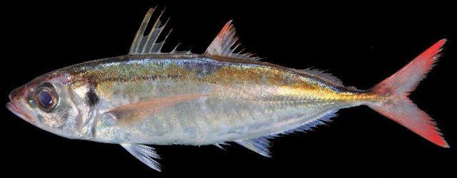 Gambar Nama Nama Ikan Laut Dan Gambarnya Layang anggur, malalugis (Decapterus kurroides)