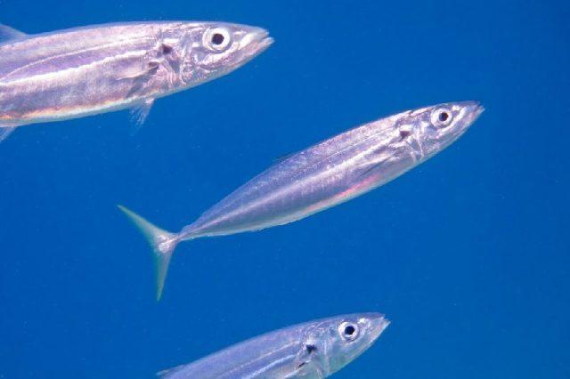 Gambar Nama Nama Ikan Laut Dan Gambarnya Layang biru (Decapterus macarellus)