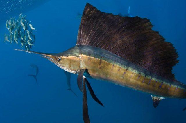 Gambar Nama Nama Ikan Laut Dan Gambarnya Layaran atlantik (Istiophorus albicans)
