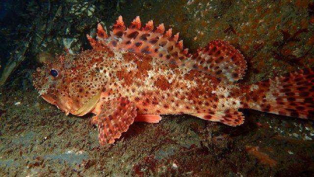 Gambar Nama Nama Ikan Laut Dan Gambarnya Lepu angin (Scorpaena guttata)