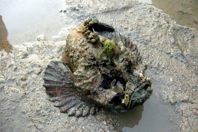 Gambar Nama Nama Ikan Laut Dan Gambarnya Lepu tembaga (Synanceja horrida)