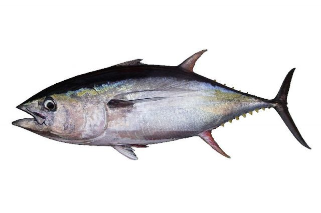 Gambar Nama Nama Ikan Laut Dan Gambarnya Madidihang, tuna sirip kuning (Thunnus albacares)
