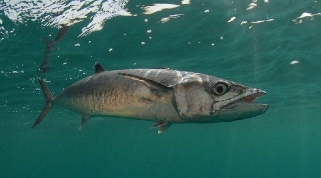Gambar Nama Nama Ikan Laut Dan Gambarnya Makerel ( macarel )