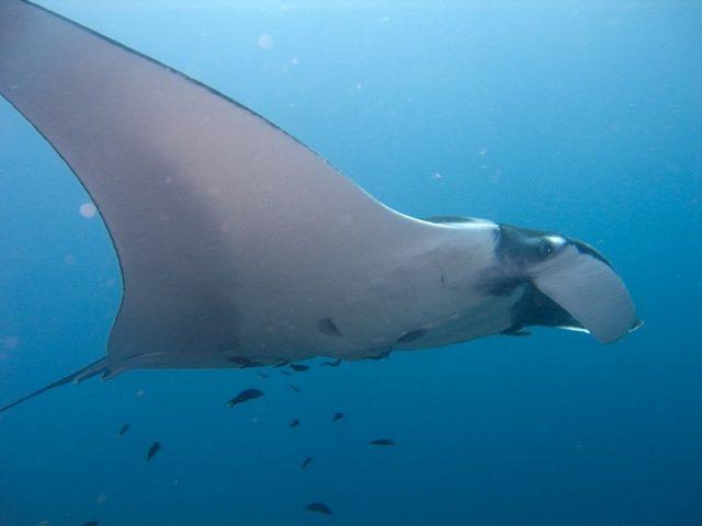Gambar Nama Nama Ikan Laut Dan Gambarnya Pari manta (Manta birostris)