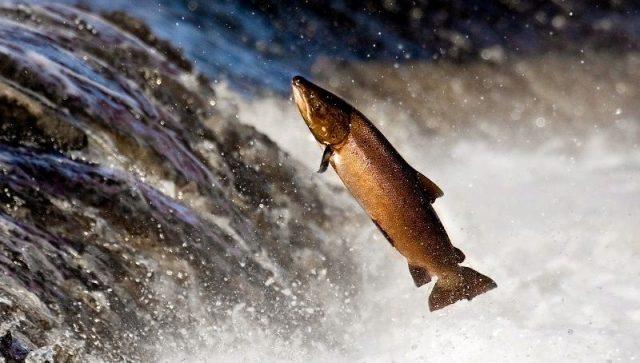 Gambar Nama Nama Ikan Laut Dan Gambarnya Salmon