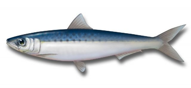 Gambar Nama Nama Ikan Laut Dan Gambarnya Sarden