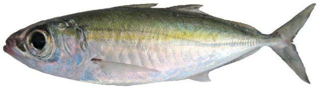 Gambar Nama Nama Ikan Laut Dan Gambarnya Selar bentong (Selar crumenophthalmus)