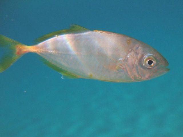 Gambar Nama Nama Ikan Laut Dan Gambarnya Selar bulat (Alepes djedaba)