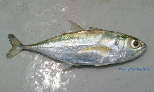 Gambar Nama Nama Ikan Laut Dan Gambarnya Selar jalu-jalu (Selar boops)
