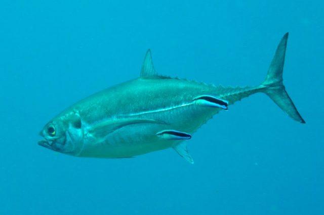 Gambar Nama Nama Ikan Laut Dan Gambarnya Selar tetengkek (Megalaspis cordyla)