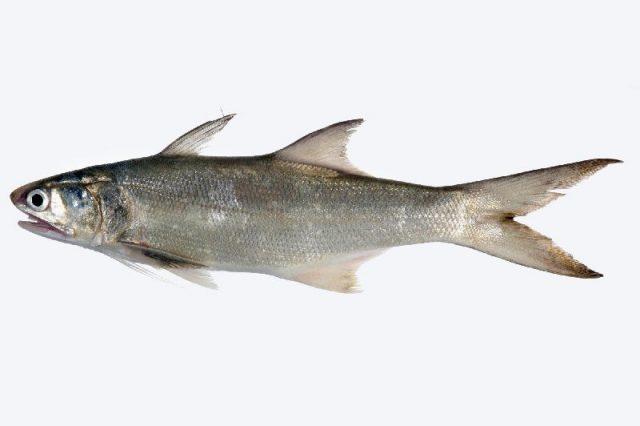 Gambar Nama Nama Ikan Laut Dan Gambarnya Senangin (Eleutheronema tetradactylum)