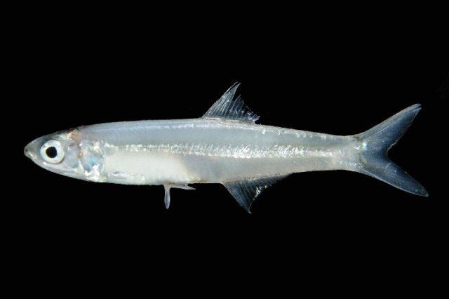 GambarNama Nama Ikan Laut Dan Gambarnya Stolephorus