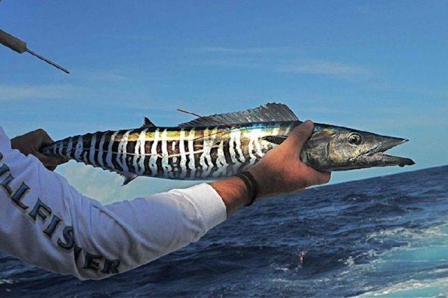 Gambar Nama Nama Ikan Laut Dan Gambarnya Tenggiri laki, tenggiri fajar (Acanthocybium solandri)