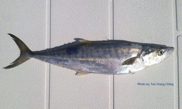 Gambar Nama Nama Ikan Laut Dan Gambarnya Tenggiri papan (Scomberomorus guttatus)