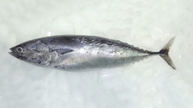 Gambar Nama Nama Ikan Laut Dan Gambarnya Tongkol krai (Auxis thazard)