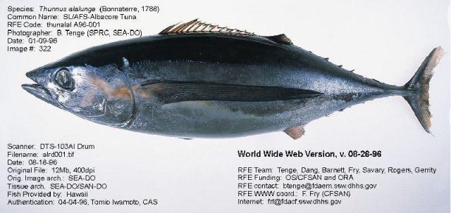 Gambar Nama Nama Ikan Laut Dan Gambarnya Tuna albakora (Thunnus alalunga)