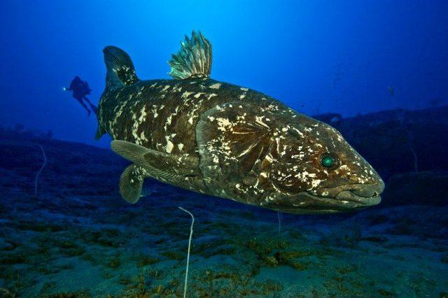 Gambar Nama Nama Ikan Laut Dan Gambarnya coelacanth fish