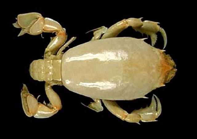Gambar Jenis Jenis Kepiting Paling Lengkap Eastern froglet crab Ranilia orientalis