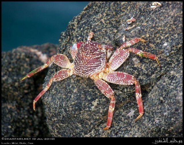 Gambar Jenis Jenis Kepiting Paling Lengkap Grapsus albolineatus