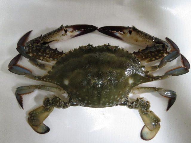 Gambar Jenis Jenis Kepiting Paling Lengkap Kepiting Jepang biru, gazami crab, Japanese blue crab or horse crab ( Portunus trituberculatus )