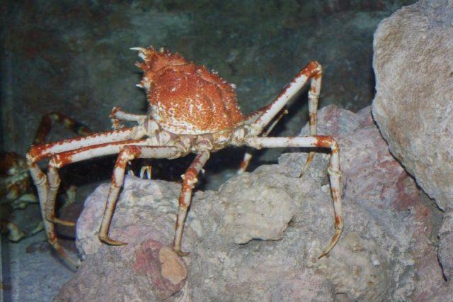 Gambar Jenis Jenis Kepiting Paling Lengkap Kepiting laba-laba Jepang ( Japanese spider crab Macrocheira kaempferi )