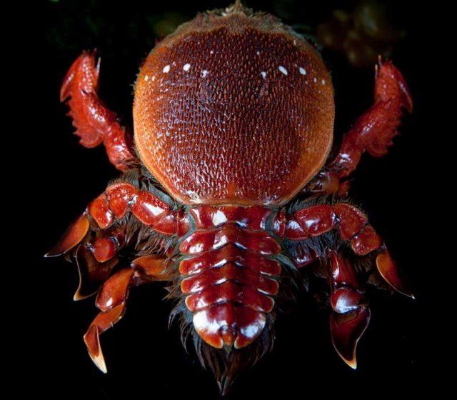 Gambar Jenis Jenis Kepiting Paling Lengkap frog shaped crab Ranina ranina