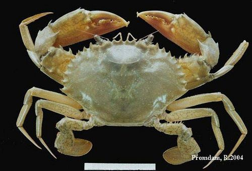 Gambar Jenis Jenis Kepiting Paling Lengkap kepiting-bakau ungu (purple mangrove crab, purple mud crab) Scylla tranquebarica
