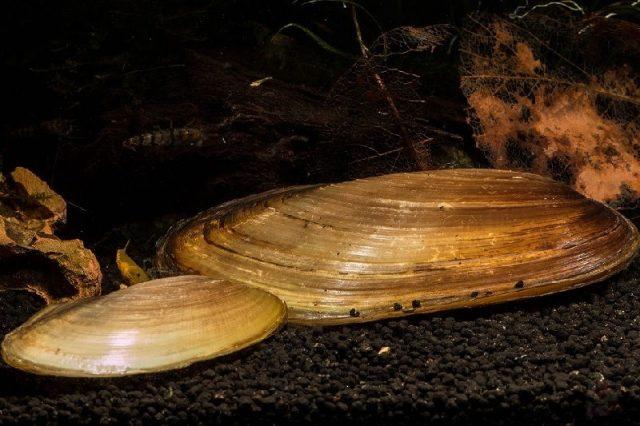 Gambar Jenis Jenis Kerang Paling Lengkap Pilsbryoconcha exilis