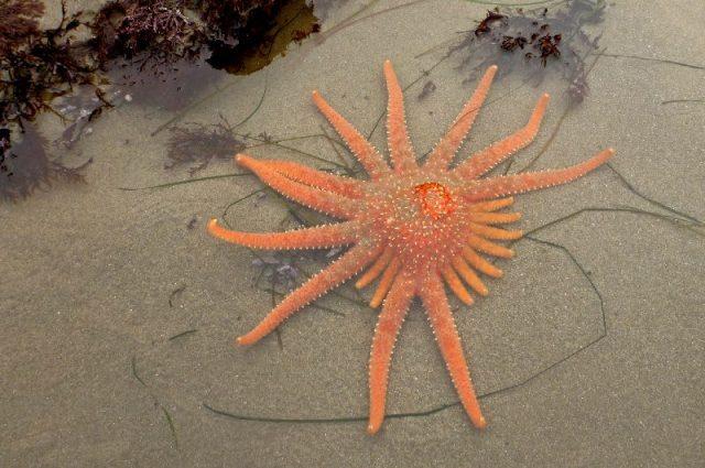 Gambar Nama Latin Bintang Laut - Sunflower star