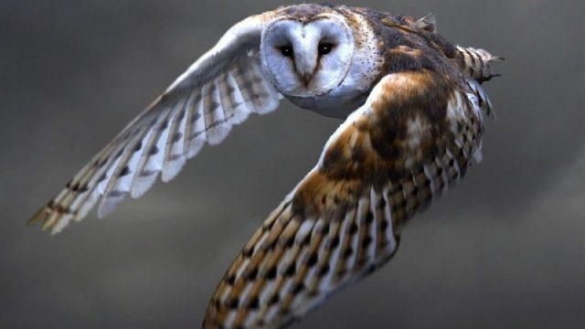 Nama Nama Hewan Dari A Sampai Z Yang Dimulai Dari Huruf B-Barn Owl