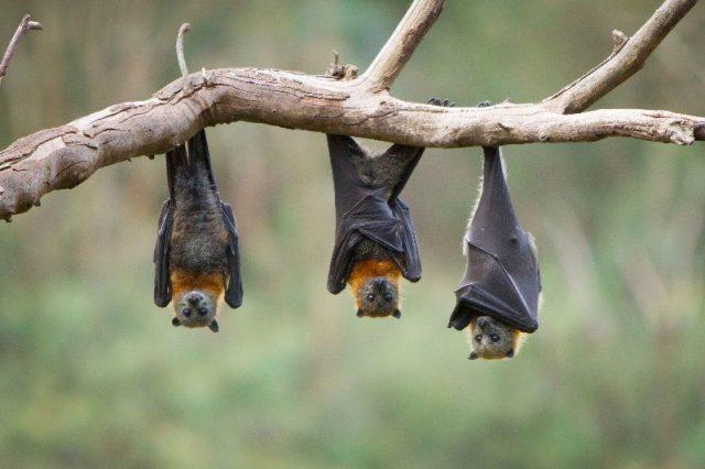 Nama Nama Hewan Dari A Sampai Z Yang Dimulai Dari Huruf B-Bat
