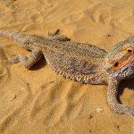 Nama Nama Hewan Dari A Sampai Z Yang Dimulai Dari Huruf B-Bearded Dragon