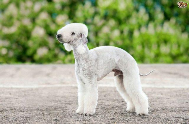 Gambar  Nama Nama Hewan Dari A Sampai Z Yang Dimulai Dari Huruf B-Bedlington Terrier