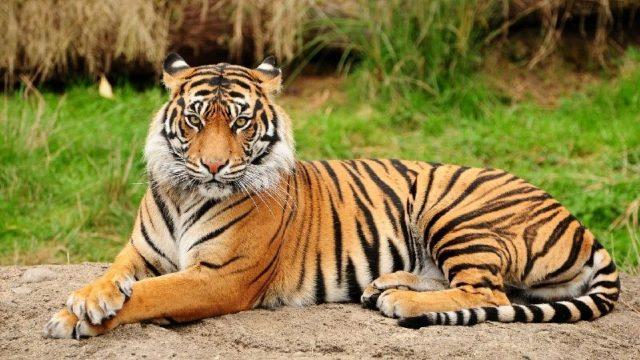 Gambar Nama Nama Hewan Dari A Sampai Z Yang Dimulai Dari Huruf B-Bengal Tiger
