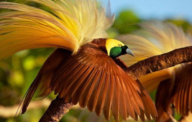 Gambar Nama Nama Hewan Dari A Sampai Z Yang Dimulai Dari Huruf B-Birds Of Paradise