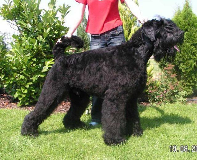 Gambar Nama Nama Hewan Dari A Sampai Z Yang Dimulai Dari Huruf B-Black Russian Terrier