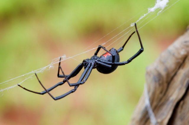 Gambar Nama Nama Hewan Dari A Sampai Z Yang Dimulai Dari Huruf B-Black Widow Spider