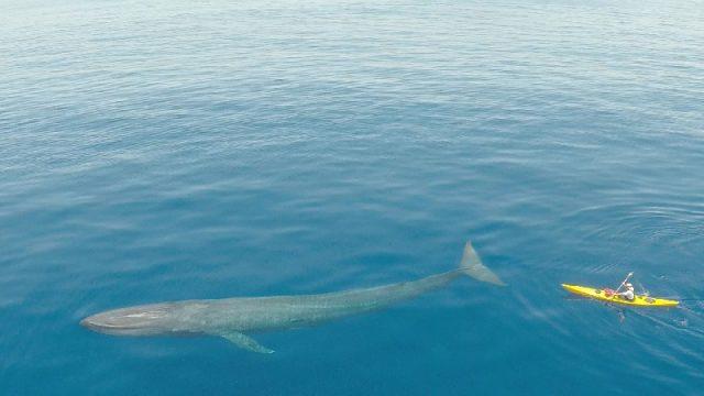 Gambar Nama Nama Hewan Dari A Sampai Z Yang Dimulai Dari Huruf B-Blue Whale