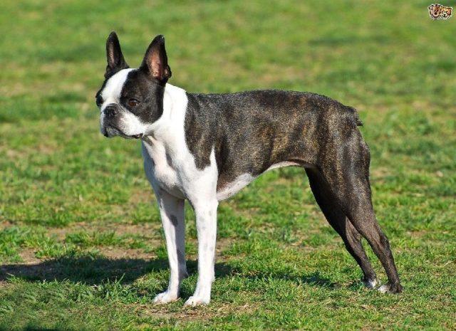 Gambar Nama Nama Hewan Dari A Sampai Z Yang Dimulai Dari Huruf B-Boston Terrier
