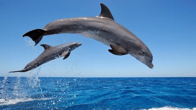 Gambar Nama Nama Hewan Dari A Sampai Z Yang Dimulai Dari Huruf B-Bottle Nosed Dolphin