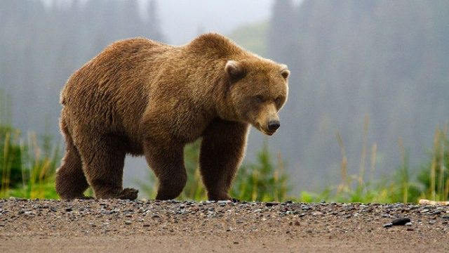 Gambar Nama Nama Hewan Dari A Sampai Z Yang Dimulai Dari Huruf B-Brown Bear