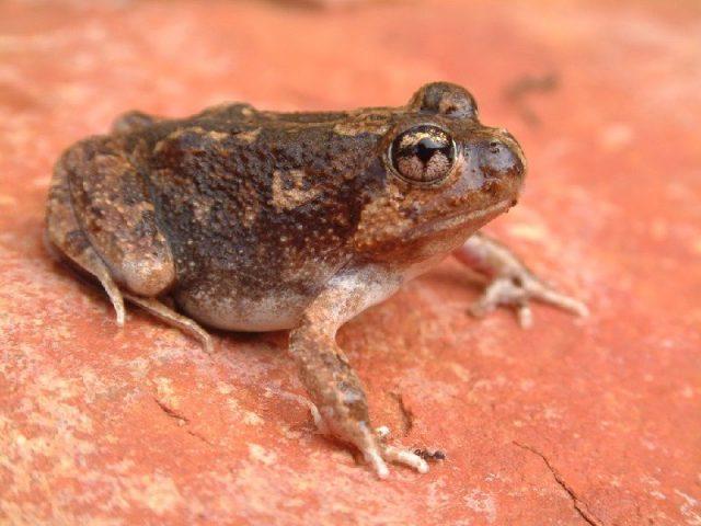 Gambar Nama Nama Hewan Dari A Sampai Z Yang Dimulai Dari Huruf B-Burrowing Frog