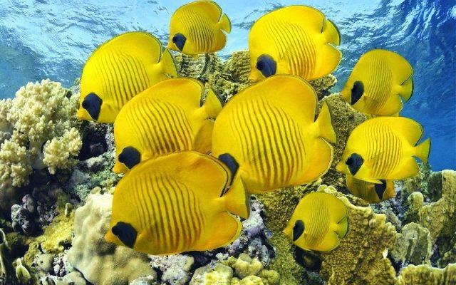 Gambar Nama Nama Hewan Dari A Sampai Z Yang Dimulai Dari Huruf B-Butterfly Fish