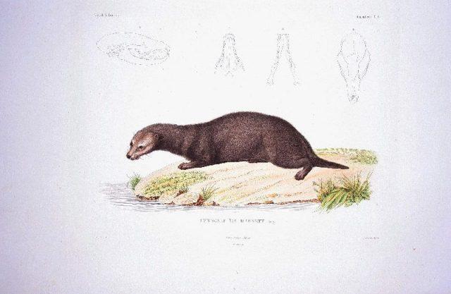 Gambar Jenis Musang Peliharaan-Ciri Ciri Musang Air ( Cynogale bennettii )
