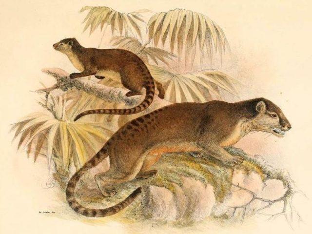 Gambar Jenis Musang Peliharaan-Ciri Ciri Musang Sulawesi ( Macrogalidia musschenbroekii )
