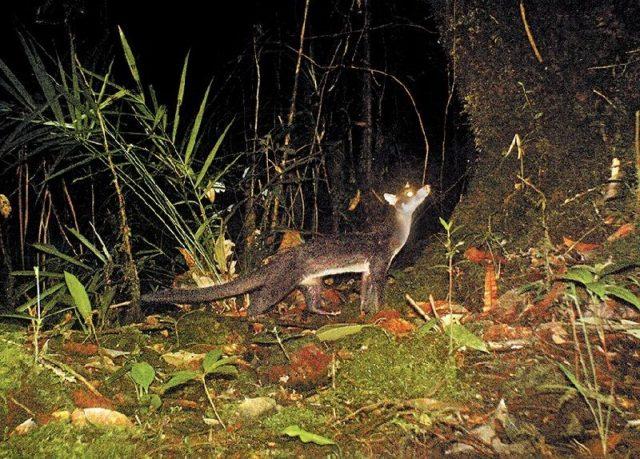 Gambar Jenis Musang Peliharaan-Musang Gunung (Diplogale hosei)
