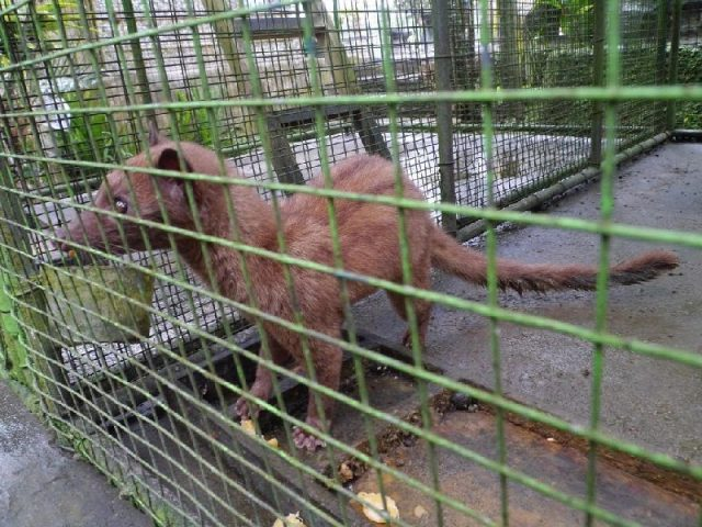 Gambar Jenis Musang Peliharaan-Musang Luwak ( common palm civet ) atau Musang Pandan Bali
