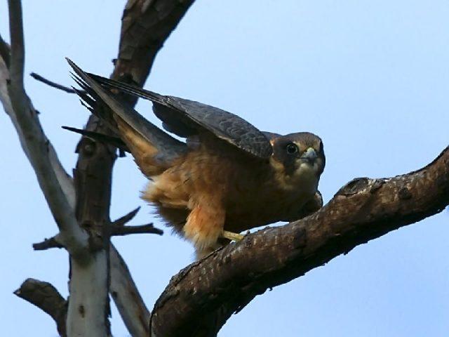 Jenis Alap Alap Di Dunia-Alap-alap australia (Falco longipennis)