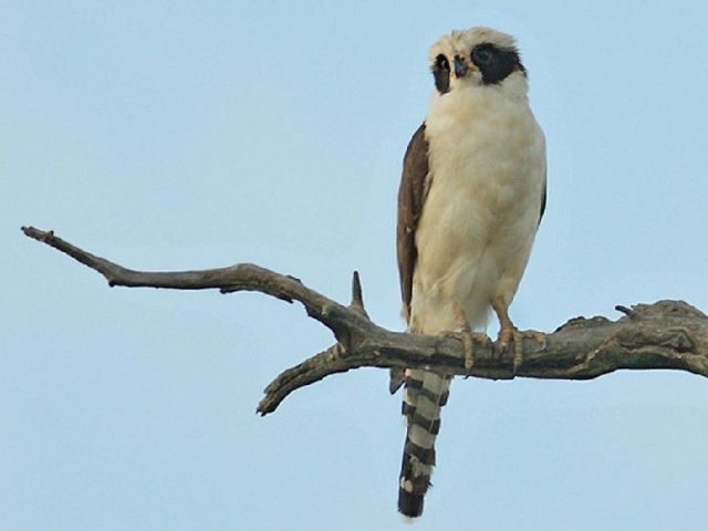 Gambar Jenis Alap Alap Di Dunia-Falkon tertawa atau laughing falcon ( Herpetotheres cachinnans )